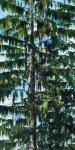 Fanch Moal - Le grand Epicea - Acrylique sur toile 50 x 38