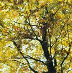 Fanch Moal - Le grand hetre - Acrylique sur toile 80 x 80